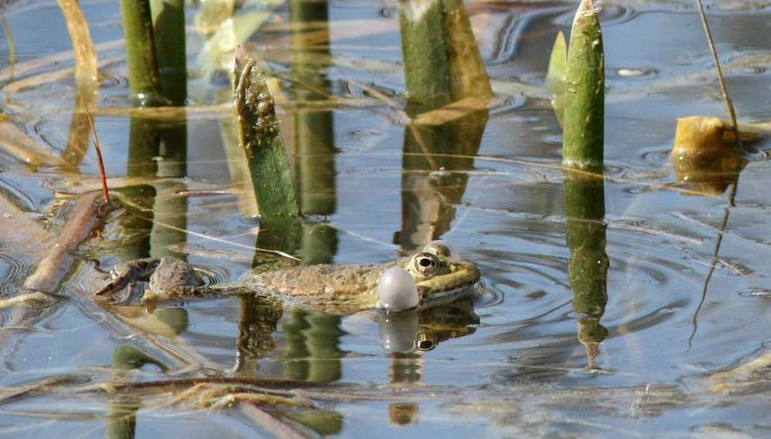 Grenouille rieuse © A. Movia